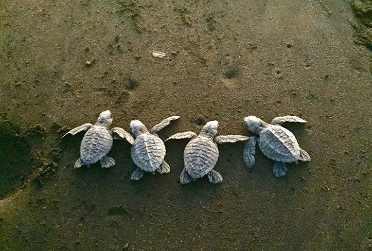 Olive Ridley turtles in Costa Rica