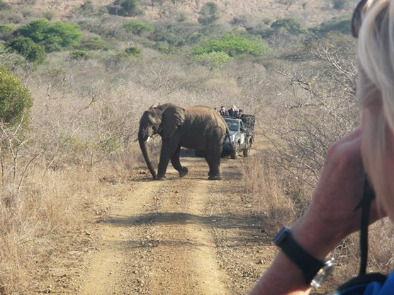 Elephant crossing the road in Africa