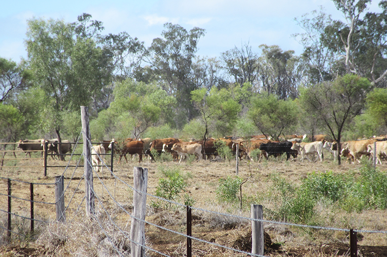 Cattle herd in Australia
