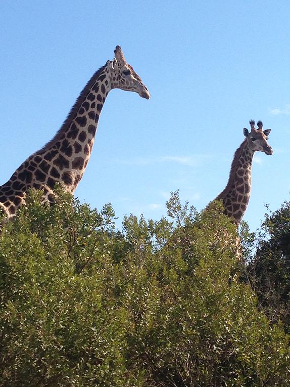 Giraffes near Port Elizabeth, South Africa