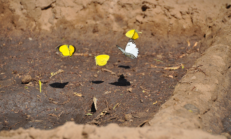 Butterflies in Botswana