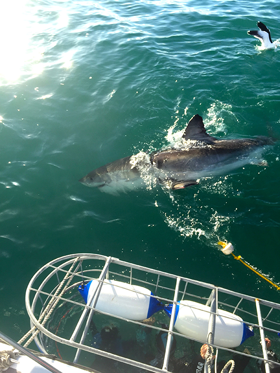 Shark cage diving in Gansbaai Bay, South Africa
