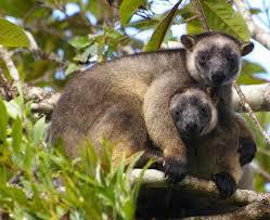 Lumholtzs Tree-Kangaroos