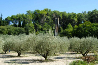 Olive Trees in the South of France