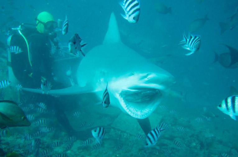 A giant Bull Shark in Fiji