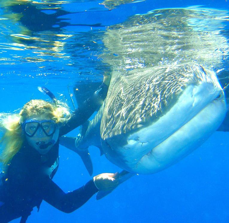 Tiger Shark in Bimini, the Bahamas