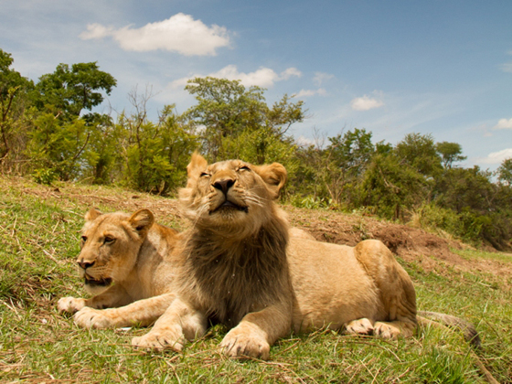 magnificent lions sunbathing