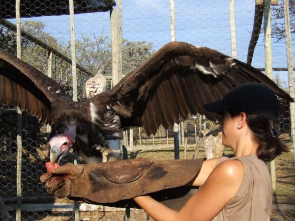 Volunteer with eagles in South Africa