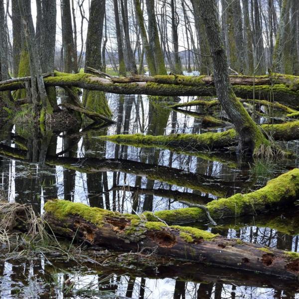 alder moor, drava, hungary, wetland, conservation