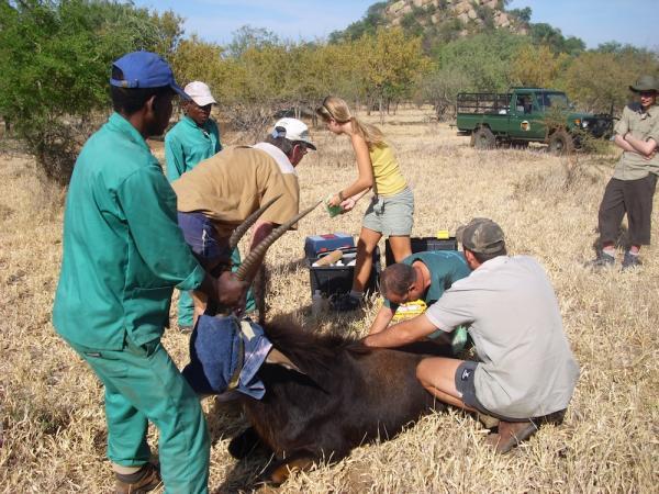 Pregnancy Test on Sable Antelope