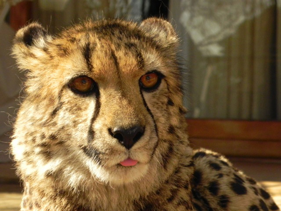 A close up with a young cheetah