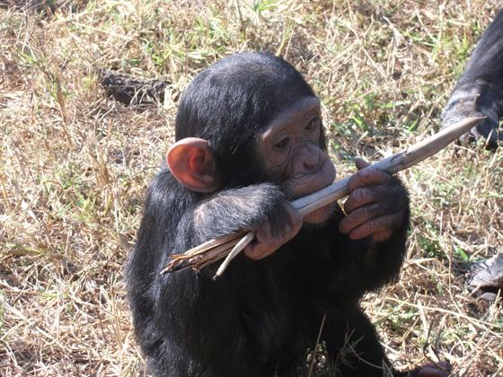 A baby chimpanzee gnawing a stick
