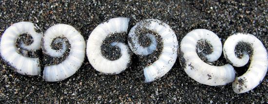 shell nautilus design