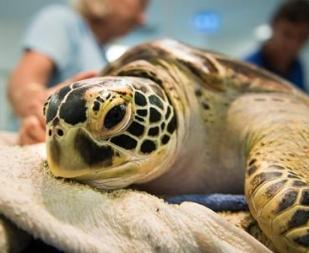 Turtle Conservation in Australia with Love Volunteers