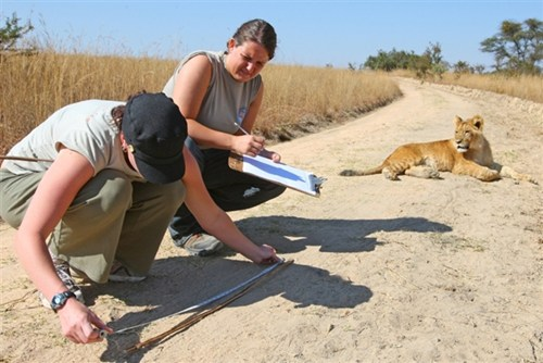 Lion Rehabilitation and Conservation in Livingstone