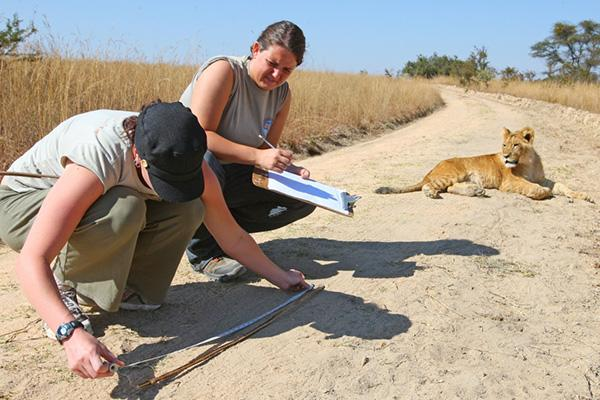 Lion Research, Rehabilitation and Release Project in Zimbabwe | travellersworldwide.com