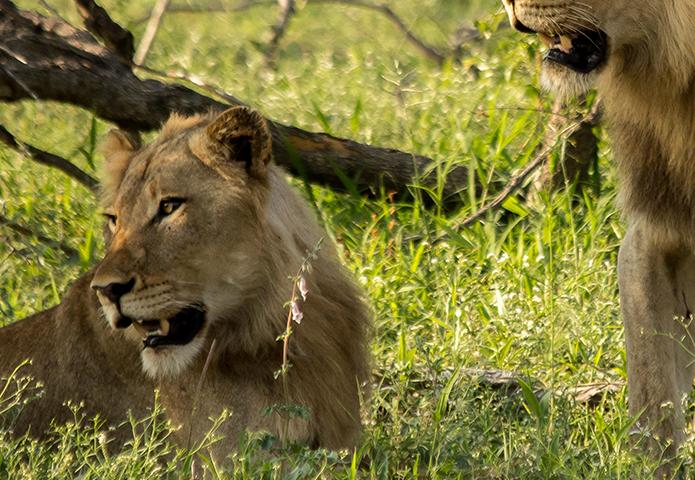 Lions in Zimbabwe