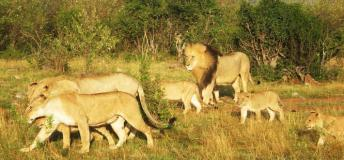 The lion and his pride in one of Kenya's national park reserves.
