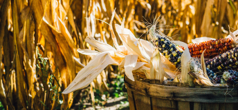 Basket of colored corn amongst a field of dry corn stalks